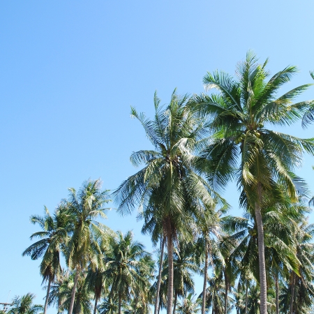 Coconut trees photo