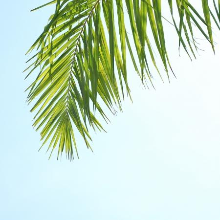 nervure: Hojas de coco