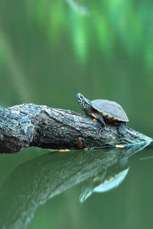 A turtle on a log with mirrored reflection in the water
