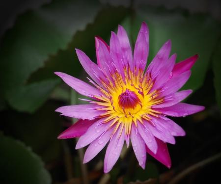 pink lotus flowers on dark green leaves with fresh water dew photo
