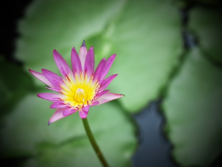 pink lotus flowers on green leaves  photo