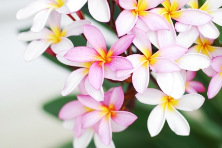 Pink and white frangipani flowers with green leaves background photo