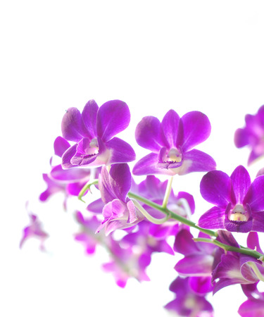 panicle: Panicle of orchids on white background Stock Photo