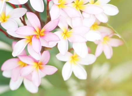 Pink frangipani flowers with green leaves background photo