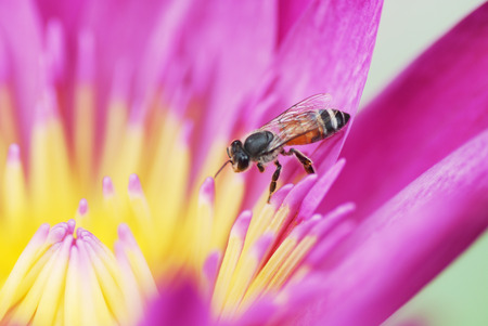 Pink lotus with bee