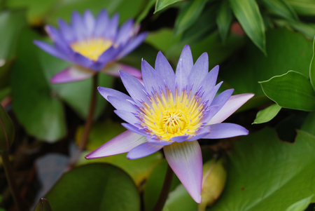 violet lotus flower on green leaves