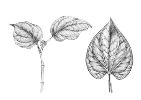 Wild betel leafbush or Piper sarmentosum roxb isolated on white background. Hand drawn collection by pencile sketch.- cliping Paths - image