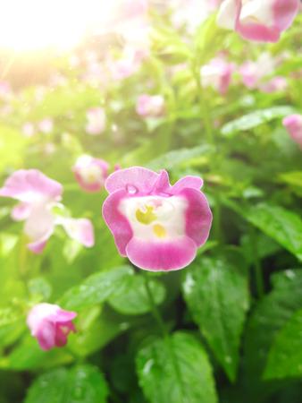 Wishbone Flower in the sunlight