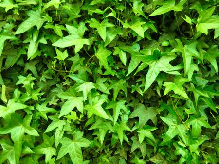 green leaves background 免版税图像