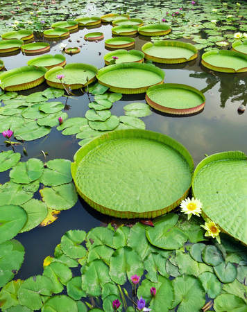 Victoria Amazonica and Nymphaea Tetragona in the pond.