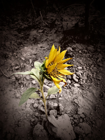 staunch: A Sunflower grows in the desert. Stock Photo
