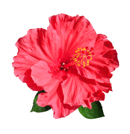 Red Chinese hibiscus on white background. 免版税图像