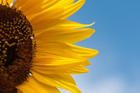 sunflower Stok Fotoğraf - 48928655
