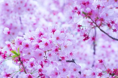 flor de cerezo: flores de cerezo japon�s Sakura