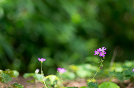oxalis: oxalis flower