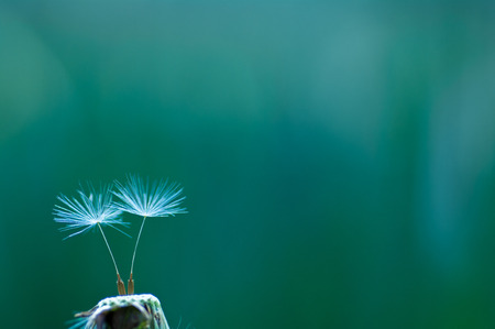 fluff: dandelion fluff