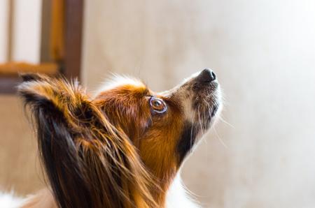 Papillon: papillon dog