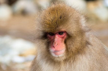 japanese people: Snow monkey at Jigokudani springs,nagano(prefectures),tourism of japan