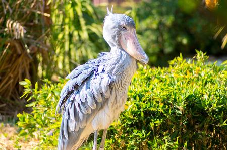 african stork: Balaeniceps rex