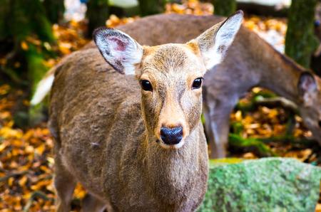 nara park: deer at nara park,tourism of japan