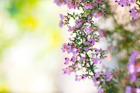 erica: Erica canaliculata Stock Photo