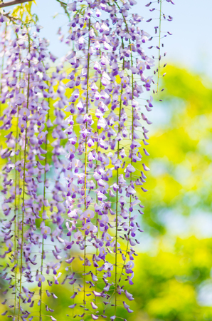 wistaria: Wisteria at Kameido shrine,tokyo,japan Stock Photo