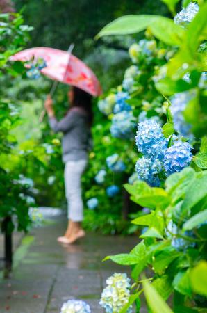 kanagawa: hydrangea,kamakura,kanagawa,japan