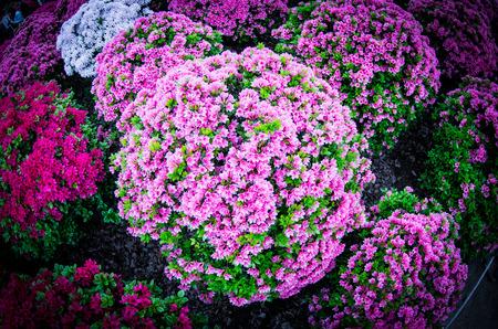 azalea at nezu shrine,tokyo,japan Stock Photo