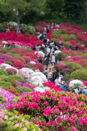 exbury: azalea at nezu shrine,tokyo,japan Stock Photo