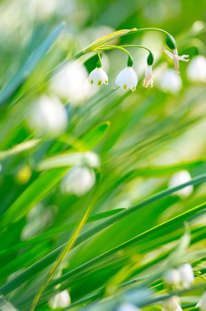 snow drops: snow drops flower