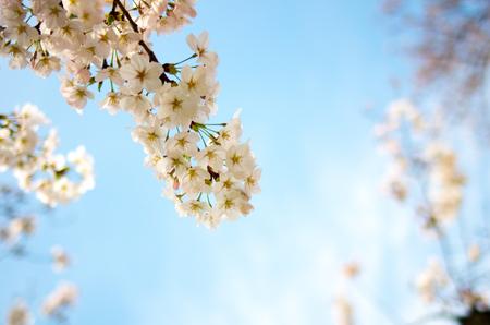 japanese sakura flower,cherry blossom