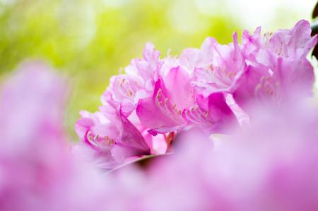 kanagawa: Rhododendron at hakone goura park,kanagawa,japan Stock Photo