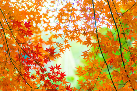 autumn color: japanese autumn leavs Stock Photo