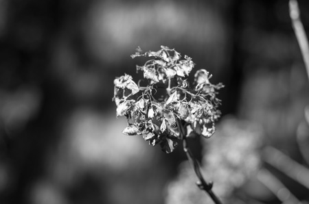 withered flower: The Hydrangea withered flower