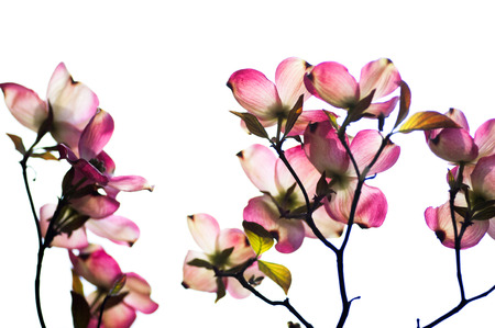 dogwood: Dogwood flower