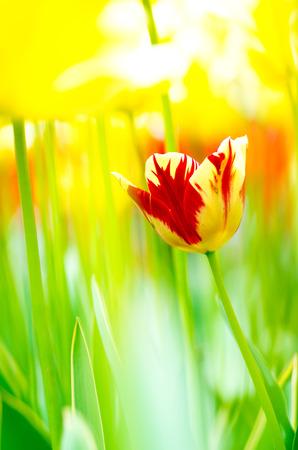 showa: Tulip at showa memorial park,tokyo,tour of japan