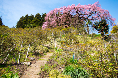 flower fields: Japanese cherry blossoms SAKURA,Fukushima(prefectures),tourism of japan Stock Photo