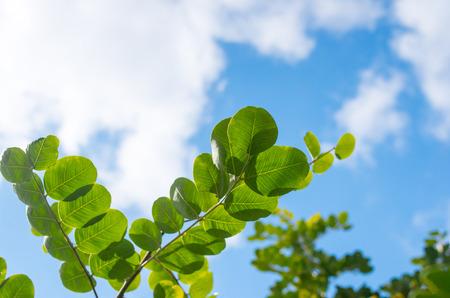 carob: carob tree