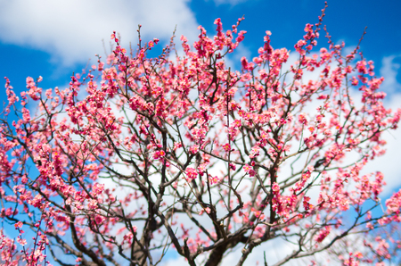 plum grove: pink plum tree