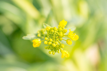 canola: canola flower