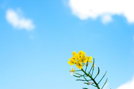 rapaseed: canola flower