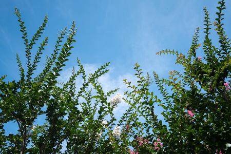 myrtle green: crape myrtlean Indian lilac