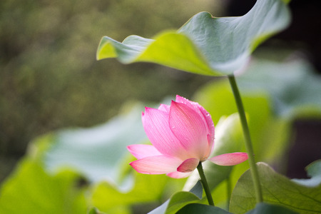 nara: Lotus at Toushoudaiji-temple,nara,japan Stock Photo