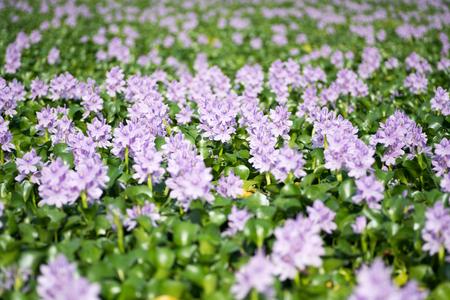 Water hyacinth at Motoyakushiji area,Kashihara,nara,japan