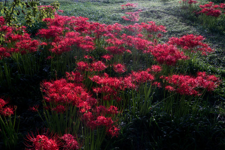 cluster amaryllis at Biwa-lake,Katsurahamaenchi,Shiga,Japan