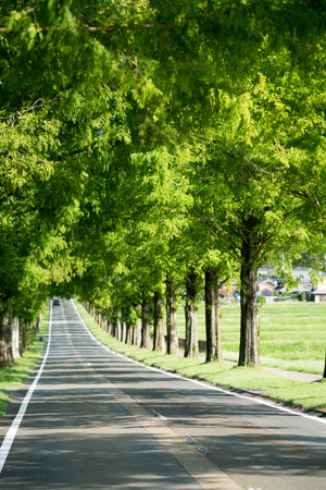 metasequoia: Metasequoia Tree-lined street,Makino-cho,Shiga,japan Stock Photo