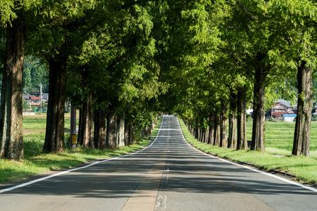 Metasequoia Tree-lined street,Makino-cho,Shiga,japan Stock Photo