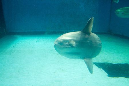 sunfish,mie,japan