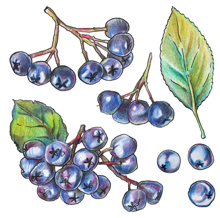 Isolated on white aronia berries, hand drawn with color pencils. Black chokeberry