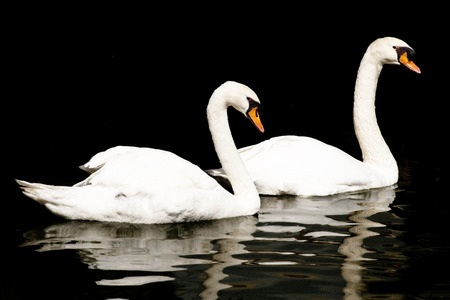 Two Swans on Water, Reflected photo